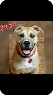 Boxer Mix Dog for adoption in Longview, Texas - Paco