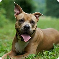 Pit Bull Terrier Dog for adoption in Richmond, Virginia - Hanny