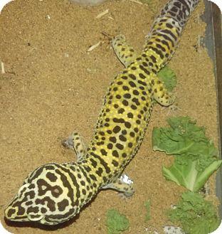 Gecko for adoption in Hampton, Georgia - Aspen