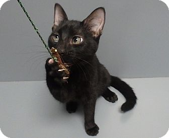 Domestic Shorthair Cat for adoption in Seguin, Texas - Tuffy