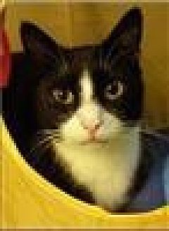 Domestic Shorthair Cat for adoption in Freeport, New York - Bandon