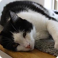 Domestic Shorthair Cat for adoption in Joplin, Missouri - Jake
