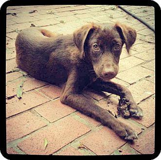 Labrador Retriever Mix Puppy for adoption in Grand Bay, Alabama - Murph