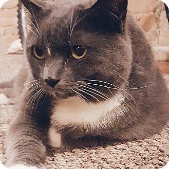 Domestic Shorthair Cat for adoption in Toronto, Ontario - Tia
