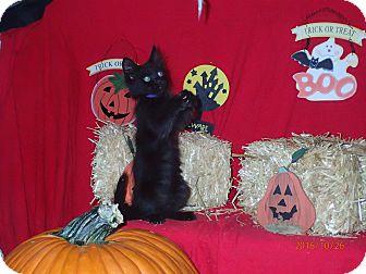 Domestic Longhair Kitten for adoption in Lancaster, California - Darla