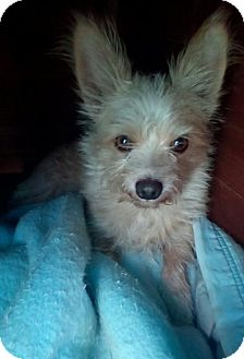 Yorkie, Yorkshire Terrier Mix Dog for adoption in Apple Valley, California - Remus (bff to Sirius)