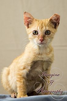 Domestic Shorthair Cat for adoption in Crescent, Oklahoma - Tigger