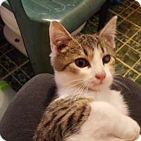 Domestic Shorthair Kitten for adoption in Irwin, Pennsylvania - Justice