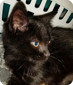 Domestic Shorthair Kitten for adoption in Denver, Colorado - Annie