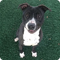 Adopt A Pet :: Dixie - Chula Vista, CA