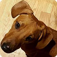 Adopt A Pet :: Pogo - Alpharetta, GA