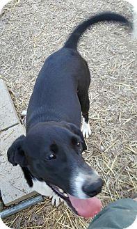 Labrador Retriever Mix Dog for adoption in Baileyton, Alabama - Rain