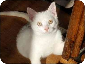 Domestic Shorthair Kitten for adoption in Hamilton, Ontario - Caleb