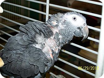 African Grey for adoption in Lexington, Georgia - Sweet Pea