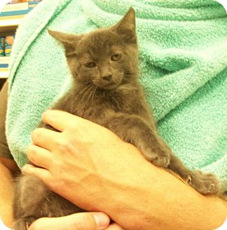 Domestic Shorthair Kitten for adoption in Reston, Virginia - Tanner
