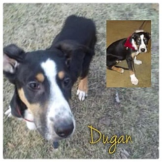 Greater Swiss Mountain Dog Mix Puppy for adoption in Garden City, Michigan - Dugan