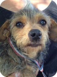 Chihuahua/Yorkie, Yorkshire Terrier Mix Dog for adoption in Marlton, New Jersey - Maizy 4 y/o non-shedding