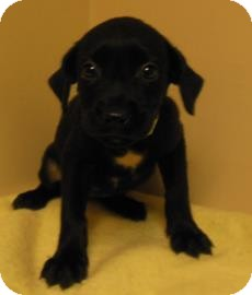 Labrador Retriever Mix Puppy for adoption in Gary, Indiana - Karen