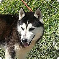 Adopt A Pet :: Lobo - Brattleboro, VT