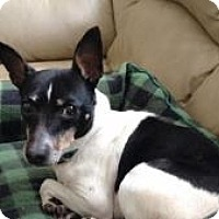 Rat Terrier Dog for adoption in House Springs, Missouri - Spock