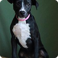 Adopt A Pet :: Athena - Waldorf, MD