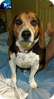 Beagle/Basset Hound Mix Dog for adoption in Overland Park, Kansas - Luke
