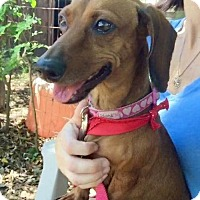 Dachshund Dog for adoption in Weston, Florida - Patience