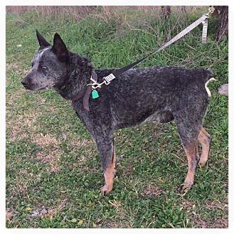 Australian Cattle Dog Dog for adoption in Comanche, Texas - Rebel