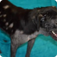 Labrador Retriever Mix Dog for adoption in Livingston, Texas - Thumper