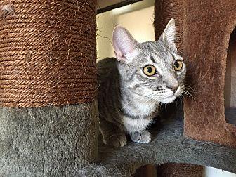 Domestic Shorthair Kitten for adoption in Hesperia, California - Quiad