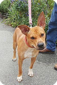 Cattle Dog/Ibizan Hound Mix Dog for adoption in Salem, Massachusetts - Allegra