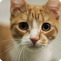Domestic Shorthair Kitten for adoption in Verona, New Jersey - Sir Ira