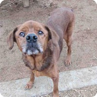 Golden Retriever Mix Dog for adoption in Plano, Texas - BRODY
