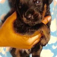 Adopt A Pet :: 11 PUPS - MACK - Colton, CA