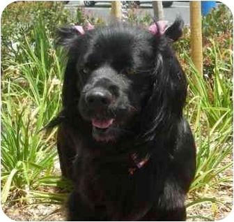 Ericka   Adopted Dog   Palmdale, CA   Flat-Coated ...  Ericka   Adopte...