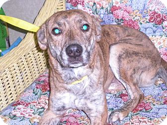 "Collie/Greyhound Mix Dog for adoption in New Castle, Pennsylvania - ""Tigerlilly """