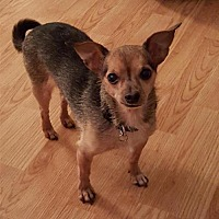 Chihuahua Dog for adoption in Rochester, Minnesota - Hurley