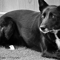 Border Collie Dog for adoption in Evansville, Indiana - Magic