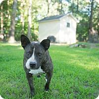 Adopt A Pet :: Adi - Tarboro, NC