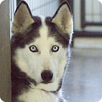 Adopt A Pet :: Cheyenne - Colorado Springs, CO