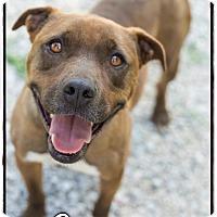 Adopt A Pet :: Copper (Reduced adoption fee!! - Washington, DC