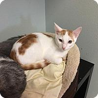 Domestic Shorthair Kitten for adoption in Westminster, California - Murphy