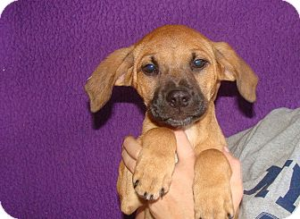 Boxer/Labrador Retriever Mix Puppy for adoption in Oviedo, Florida - Violet