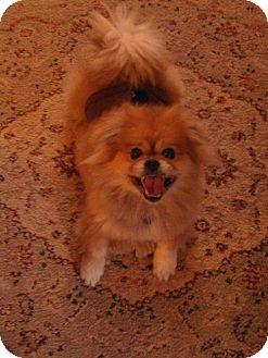 Pomeranian/Pekingese Mix Dog for adoption in Inver Grove, Minnesota - Leo