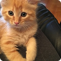 Domestic Mediumhair Kitten for adoption in Butner, North Carolina - Kris