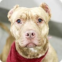 Adopt A Pet :: King Tut - Kettering, OH