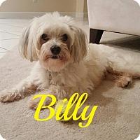 Maltese Mix Dog for adoption in Maitland, Florida - Billy