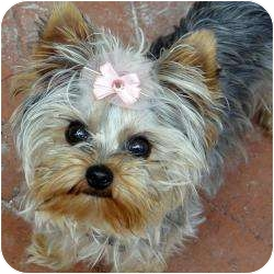 Yorkie, Yorkshire Terrier Puppy for adoption in West Palm Beach, Florida - Zoey