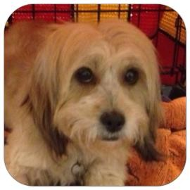 Lhasa Apso Mix Dog for adoption in Ithaca, New York - Abby