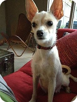 Penelope | Adopted Dog | Dallas, TX | Chihuahua/Lhasa Apso Mix